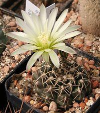 Gymnocalycium schroederianum.jpg