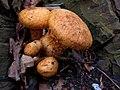 Gymnopilus junonius 111337365.jpg