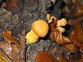 Gymnopilus spectabilis JPG02.jpg