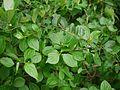 Gymnosporia puberula M.A.Lawson (7543840804).jpg