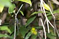 Gynacantha hyalina (44519034612).jpg