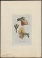 Gypaëtus barbatus - 1810 - Print - Iconographia Zoologica - Special Collections University of Amsterdam - UBA01 IZ18100019.tif