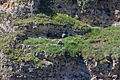 Gyps fulvus - Hoces del río Duratón - 06.jpg