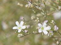 Gypsophila acutifolia0
