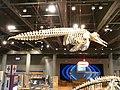 HK TST Science Museum bones exhibit 201 恐龍 dinosaur Sept-2012.JPG
