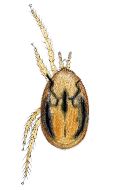 Haemogamasus hirsutus by Oudemans.png