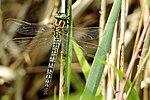 Hairy Dragonfly - RSPB Fowlmere (27288777895).jpg