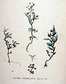 Halimus pedunculatus — Flora Batava — Volume v19.jpg