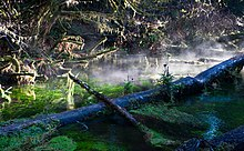 Fog rising from moss-covered tree trunks