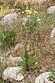 Handelia trichophylla (Asteraceae) (32363420123).jpg