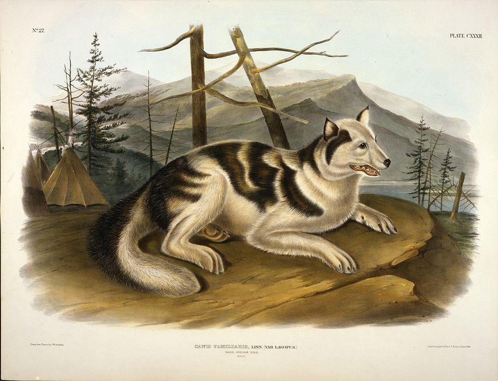 File Hare Indian Dog Lithograph By John Woodhouse Audubon