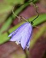 Harebell (Campanula rotundifolia) - Oslo, Norway.jpg