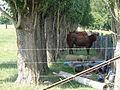 Hary (Aisne) vaches sous les arbres 01.JPG