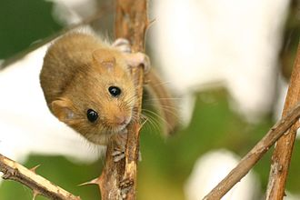 North Devon's Biosphere Reserve - The common dormouse is the only species of dormouse native to Great Britain.