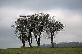Hawthorns in Oneux.jpg