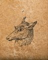 Head of a hind. Drawing, c. 1789. Wellcome V0009138EBL.jpg