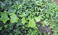 Hedera canariensis kz2.JPG