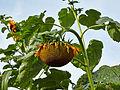 Helianthus annuus-IMG 9286.jpg