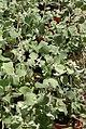 Helichrysum thianschanicum Silver Spike 0zz.jpg