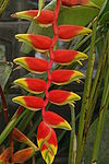 Heliconia rostrata04.JPG