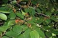 Helicteres isora (East Indian screw tree) W IMG 1255.jpg