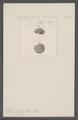 Helix grasseti - - Print - Iconographia Zoologica - Special Collections University of Amsterdam - UBAINV0274 089 01 0075.tif