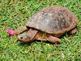 African helmeted turtle An African marsh-living turtle
