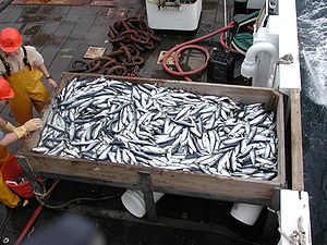 Clupea - Commercial herring catch