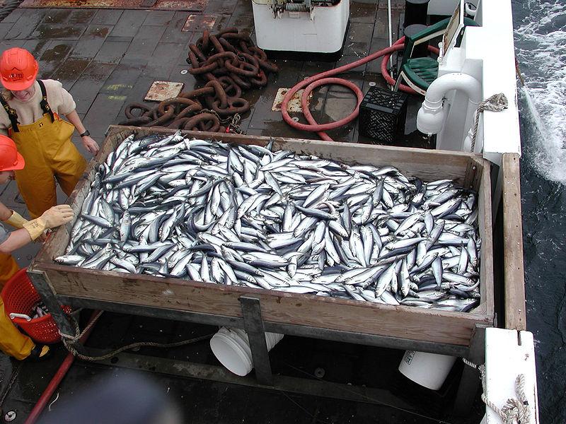 File:Herring catch-Sep200.jpg