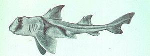 Bullhead shark - Image: Heterodontus philippi