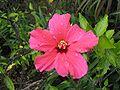 Hibiscus madeira.jpg