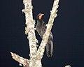 Highland Guan (Penelopina nigra) (5783253369).jpg