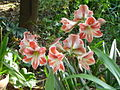 Hippeastrum growing among Crinum lillies in my garden May 2009.JPG