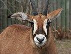 Hippotragus equinus cottoni 2 - Buffalo Zoo.jpg