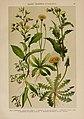 Hoffmann-Dennert botanischer Bilderatlas (Taf. 86) (6425026295).jpg