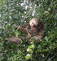 Hoffmann-Sloth.jpg