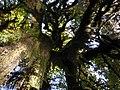 Hoh moss lichen canopy tree rainforest cbubar 2015 (22656711307).jpg