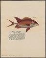 Holocentrum longipinne - - Print - Iconographia Zoologica - Special Collections University of Amsterdam - UBA01 IZ12900037.tif