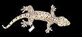 Holotype of Thecadactylus oskrobapreinorum (SMF 92120), dorsal view - ZooKeys-118-097-g001-top.jpg