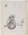 Homo sapiens - Aspalasomie - 1700-1880 - Print - Iconographia Zoologica - Special Collections University of Amsterdam - UBA01 IZ19600206.tif