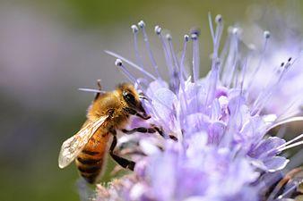Honney bee (31277028843).jpg