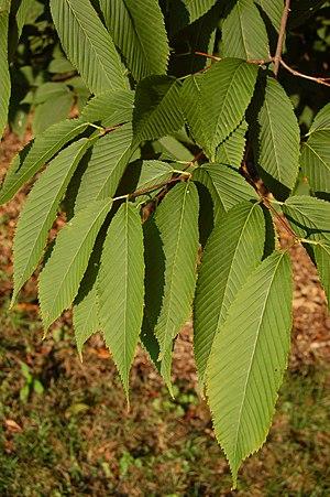 Acer carpinifolium - Image: Hornbeam Maple Acer carpinifolium Leaves 3000px