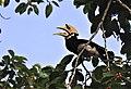 Hornbill eating Banyan fruit.jpg