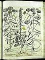 Hortus Eystettensis, Vorzeichnungen (MS 2370 2952730) -Aestiva,7,11.jpg