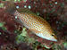 Brownspotted Grouper - Photo (c) Izuzuki, some rights reserved (CC BY-SA)