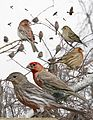 House finch from The Crossley ID Guide Eastern Birds.jpg