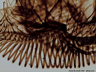 Housefly - Mouthparts, showing the pseudotracheae, semitubular grooves (dark parallel bands) used for sucking up liquid food