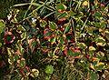 Houttuynia cordata Chamelion B.jpg