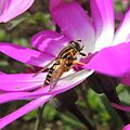 Hoverfly, Sandy, Bedfordshire (14039722583).jpg