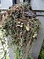 Hoya caudata - United States Botanic Garden - DSC09618.JPG